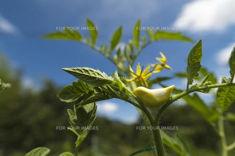 トマトの花と黄色い小鳥の人形の素材 [FYI00080311]