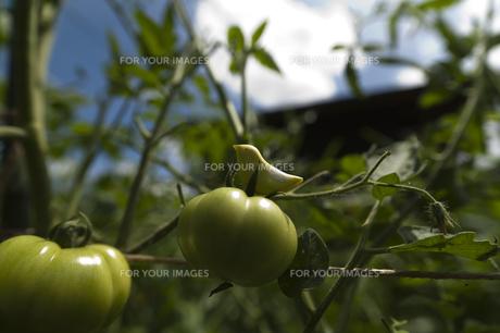 青いトマトと黄色い小鳥の人形の素材 [FYI00080317]