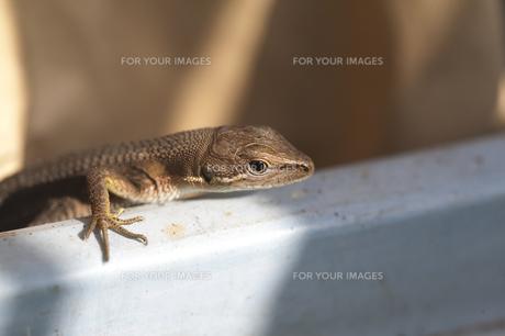 カナヘビの仔の写真素材 [FYI00080350]