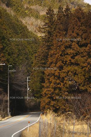 杉の花満開の山道の写真素材 [FYI00080411]