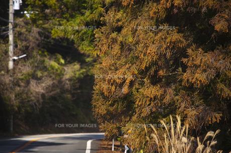 スギの花満開の山道の写真素材 [FYI00080415]