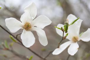 こぶしの花の写真素材 [FYI00080432]