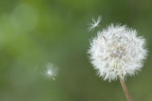 タンポポの綿毛の飛散の写真素材 [FYI00080449]