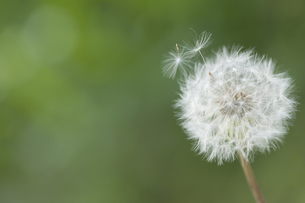 タンポポの綿毛の飛散の写真素材 [FYI00080450]