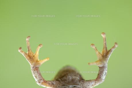 アマガエルの万歳の写真素材 [FYI00080451]