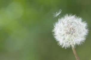 タンポポの綿毛の飛散の写真素材 [FYI00080462]
