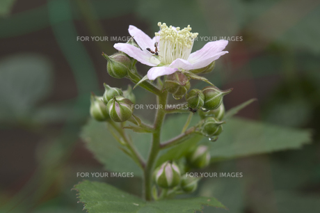 ブラックベリーの花と蟻の写真素材 [FYI00080465]