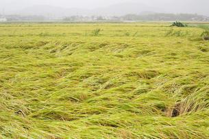 台風で倒れた稲の写真素材 [FYI00080507]