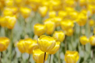 黄色いチューリップ畑の写真素材 [FYI00080558]