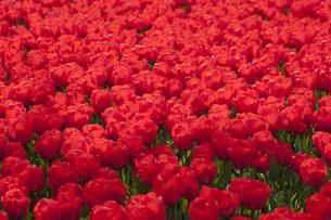 赤いチューリップ畑の写真素材 [FYI00080560]