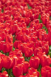 赤いチューリップ畑の写真素材 [FYI00080566]