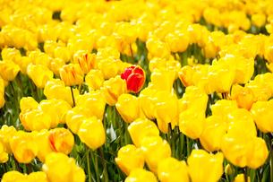 黄色のューリップ畑の写真素材 [FYI00080567]