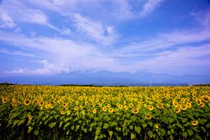 向日葵畑の写真素材 [FYI00080650]