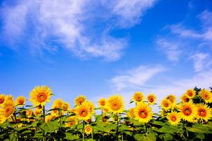 向日葵畑の写真素材 [FYI00080658]