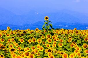 向日葵畑の写真素材 [FYI00080661]