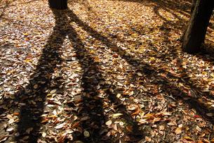 落ち葉の写真素材 [FYI00080928]