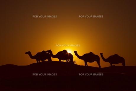 ラクダのシルエットの写真素材 [FYI00081503]