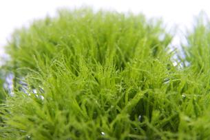 テマリ草と雫の写真素材 [FYI00081532]