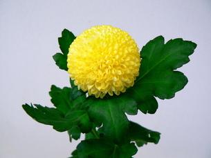 ピンポン菊の写真素材 [FYI00081754]