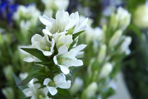 白いリンドウの写真素材 [FYI00081911]