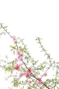 ボケの花の写真素材 [FYI00082001]