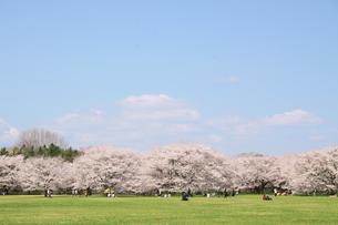 昭和記念公園のサクラの写真素材 [FYI00082055]