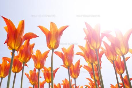 チューリップと光の写真素材 [FYI00082146]