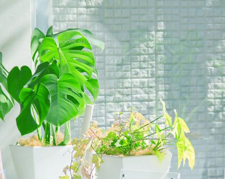 窓辺の観葉植物の写真素材 [FYI00082375]