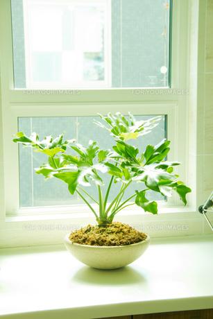窓辺の観葉植物の写真素材 [FYI00082379]
