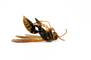蜂の写真素材 [FYI00082682]