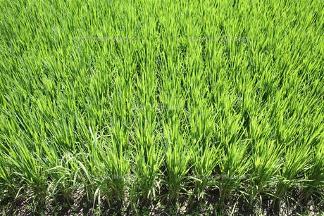 稲の素材 [FYI00082734]
