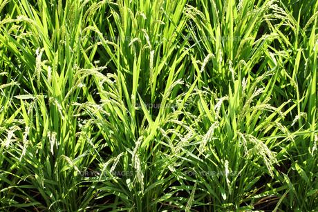 稲の素材 [FYI00082831]