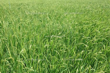 稲の素材 [FYI00082836]