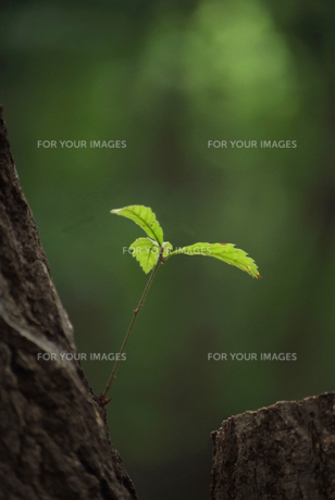 コナラの若葉の写真素材 [FYI00084996]