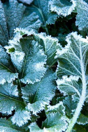 農作物と霜の素材 [FYI00085030]