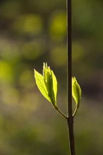 新芽の写真素材 [FYI00085067]