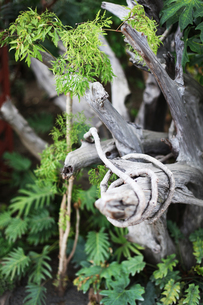 巻き付く枝の写真素材 [FYI00085130]