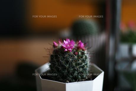 サボテンの花の写真素材 [FYI00085212]