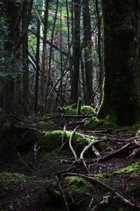 樹海の木漏れ日の写真素材 [FYI00085315]