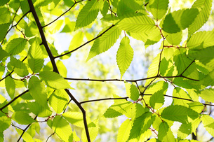 新緑の枝葉の写真素材 [FYI00085495]