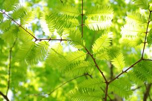 新緑の枝葉の写真素材 [FYI00085499]