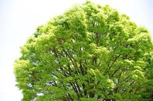 新緑の大木の写真素材 [FYI00085502]