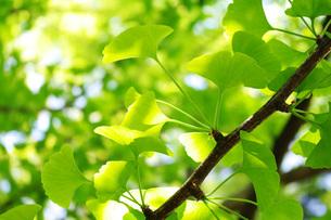 新緑の枝葉の写真素材 [FYI00085506]