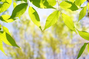 新緑の葉の写真素材 [FYI00085510]