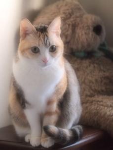 ぬいぐるみのような猫の写真素材 [FYI00085536]