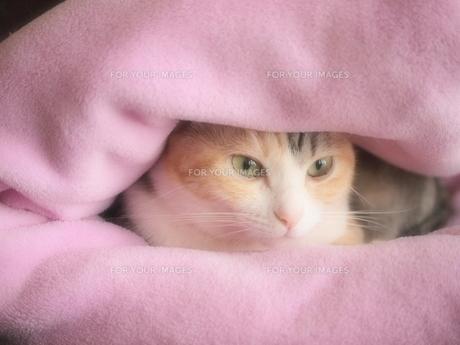 毛布にくるまれた猫の写真素材 [FYI00085542]