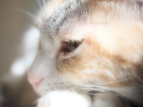 ひなたでうとうとしている猫の写真素材 [FYI00085544]