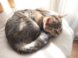クッションの上で丸くなる猫の写真素材 [FYI00085599]