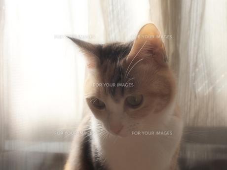窓辺の猫の写真素材 [FYI00085616]