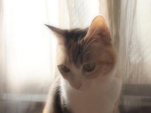 窓辺の猫の素材 [FYI00085616]
